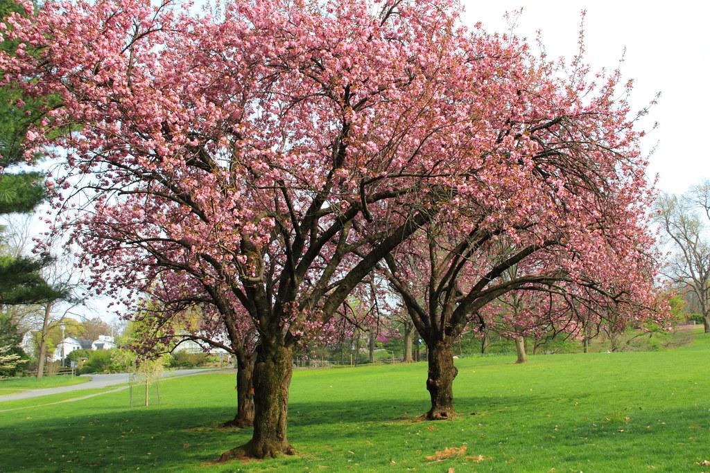 Cherry Blossoms at the Arboretum