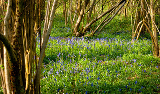 bluebells.   by Holly Norval