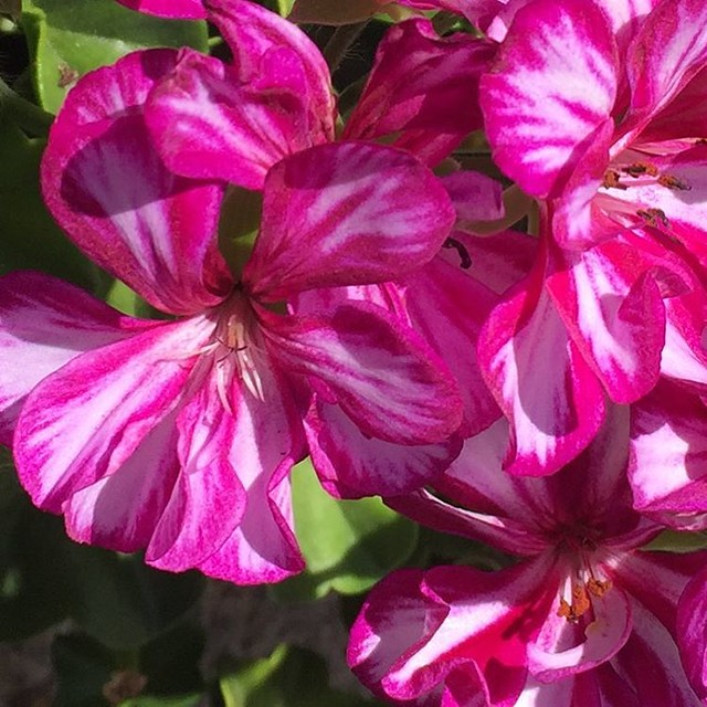 #geranium #pelagorium #photo