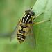 Helophilus pendulus (Tiger Hoverfly)
