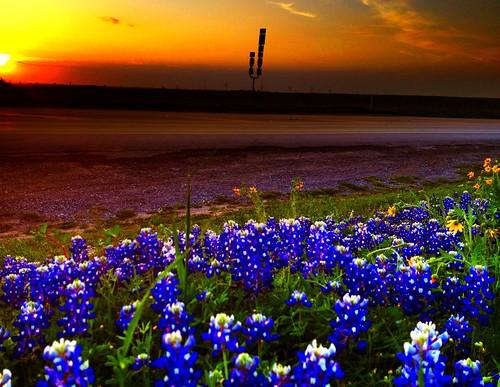 flowers blue flores flower primavera field azul spring flor bluebonnet bluebonnets