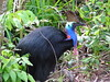 Southern Cassowary female by TG23-Birding in a Box