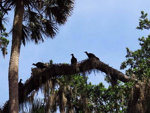 Black Vultures (Coragyps atratus) | by magnificentfrigatebird