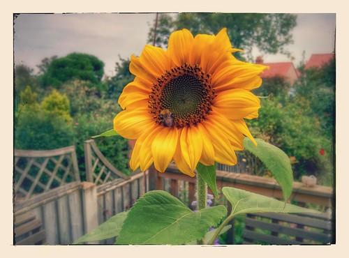 Sunflower (13/09/2014)