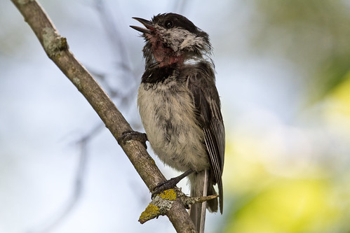 Bedraggled Black-capped Chickadee