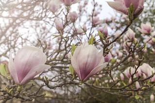 Magnolienblüten   by David Schiersner