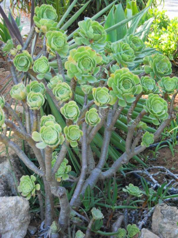 Aeonium arboreum v 4