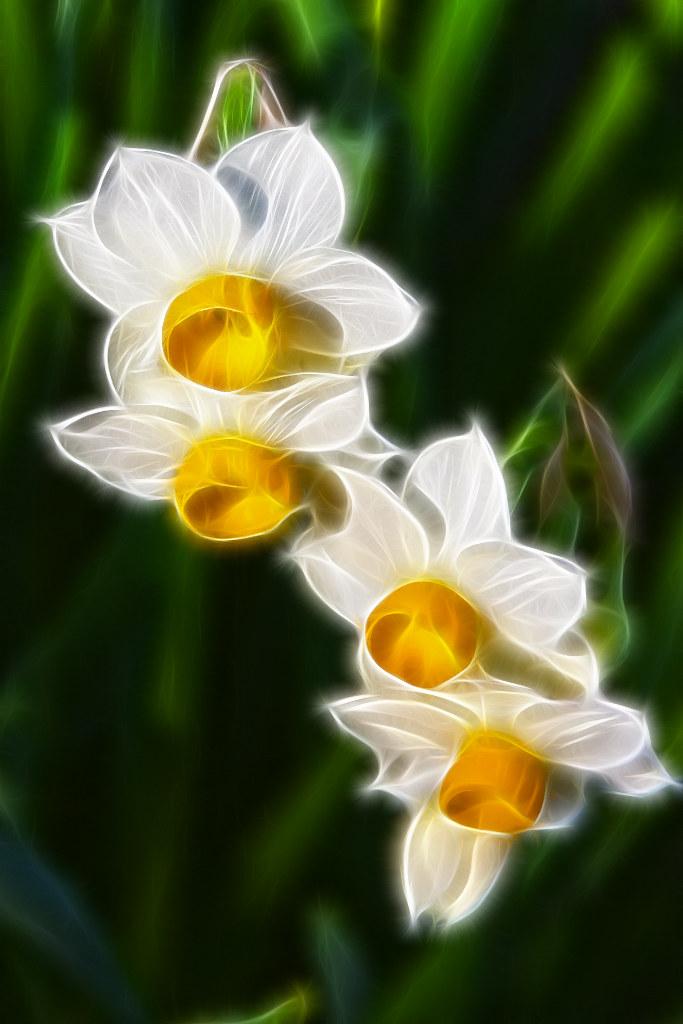 Fiori Narcisi.Narcisi Tazetta Fiori Narcissus Flowers Fractalius Flickr
