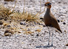 Burchell's courser (Cursorius rufus) by L. Kay