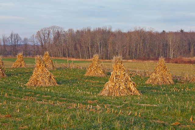 Cornstalks Stacked by Amish Farmer Near Stanwood, Michigan