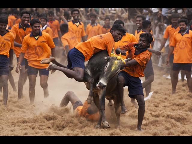 Bull riding village, Jallikattu