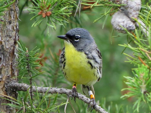 Kirtland's Warbler | by wisconservationcomms