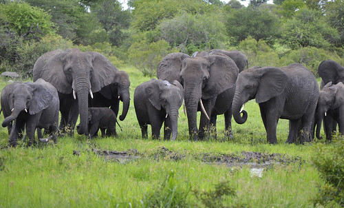 African Elephants - Herd | by LaertesCTB