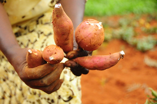 education kenya sweet potato drought educational agriculture climatechange climate adaptation outreach eastafrica mitigation foodsecurity ccafs amkn cgiarclimate farmertestimonials kiaragana