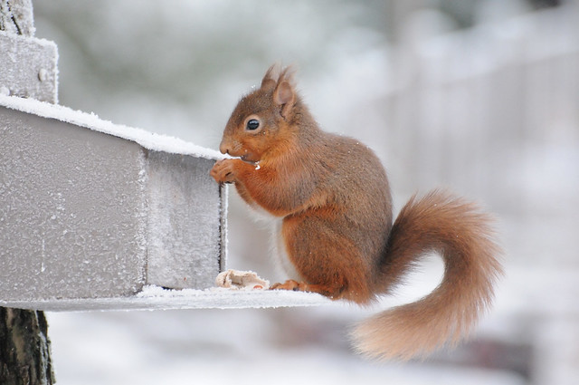christmas day squirell
