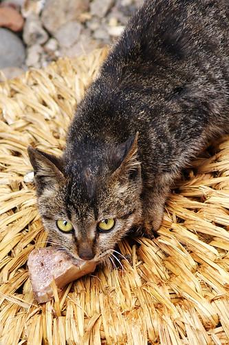 猫 cat 動物