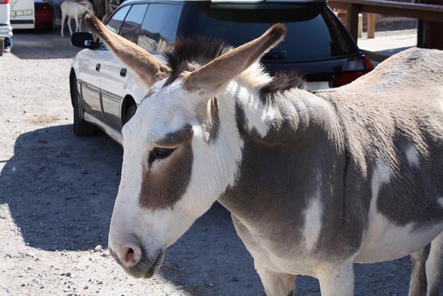 tired mule