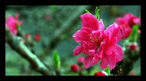 Peach Blossoms II | by The Aberrant Eye