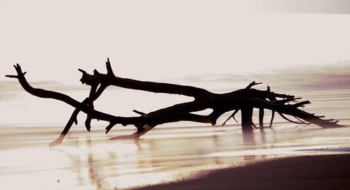 Lanikai Driftwood