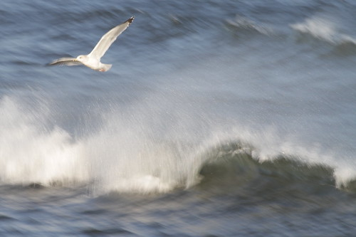 A gull flying through waves | by Takashi(aes256)