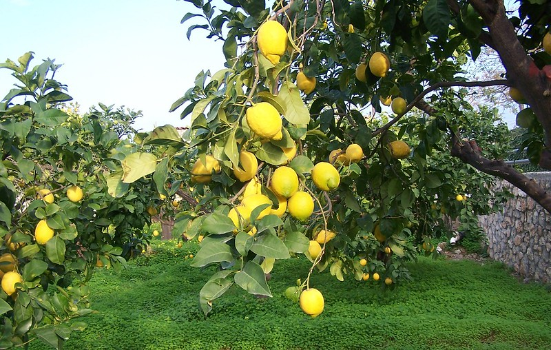 Laden Lemon Trees