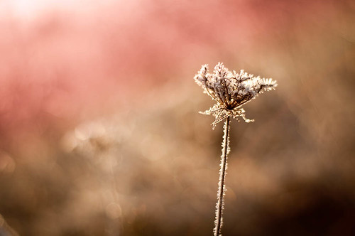 morning winter sunlight ontario canada cold flower sunrise work 50mm prime weeds weed nikon frost dof bokeh hamilton fv10 twotone