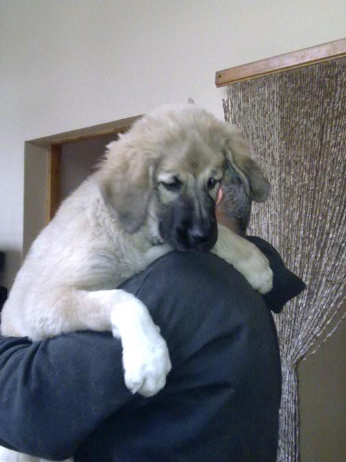 Mia Caucasian Shepherd Dog Enwikipediaorgwikicaucasi