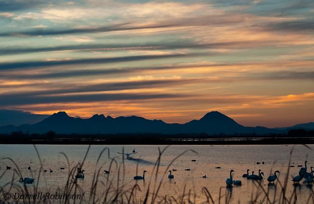 Tundra Swans and Sutter Buttes