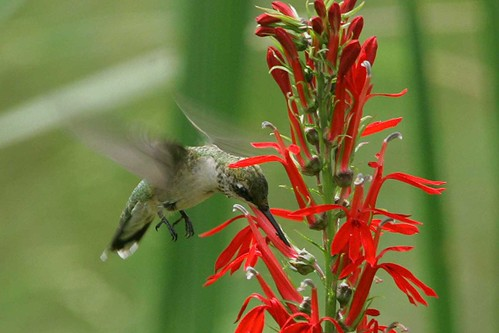 Ruby-throated Hummingbird at Cardinal Flower | by U. S. Fish and Wildlife Service - Northeast Region
