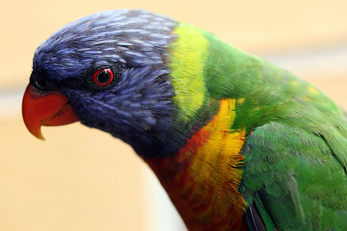 Rainbow Lorikeet | by dmmaus