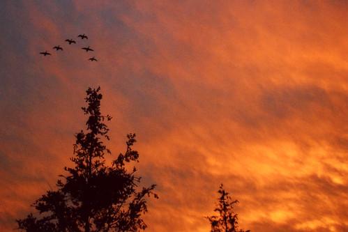 sky tree bird college japan swan fantasy 日本 niigata 木 大学 空 鳥 夕焼け shibata 新潟 白鳥 敬和 keiwa 敬和学園大学 新発田 敬和学園 ファンタジー keiwacollege v字飛行