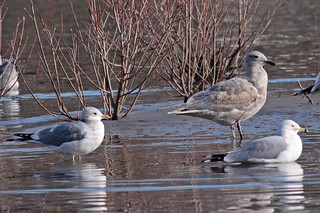 Part of a Six Gull Day | by Keith Carlson