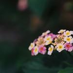 「白、黄、薄紅…」 #フィルム #フィルム写真 #フィルムカメラ #銀塩 #OLYMPUS #OM #film #film #filmphotography #film428 #植物 #花