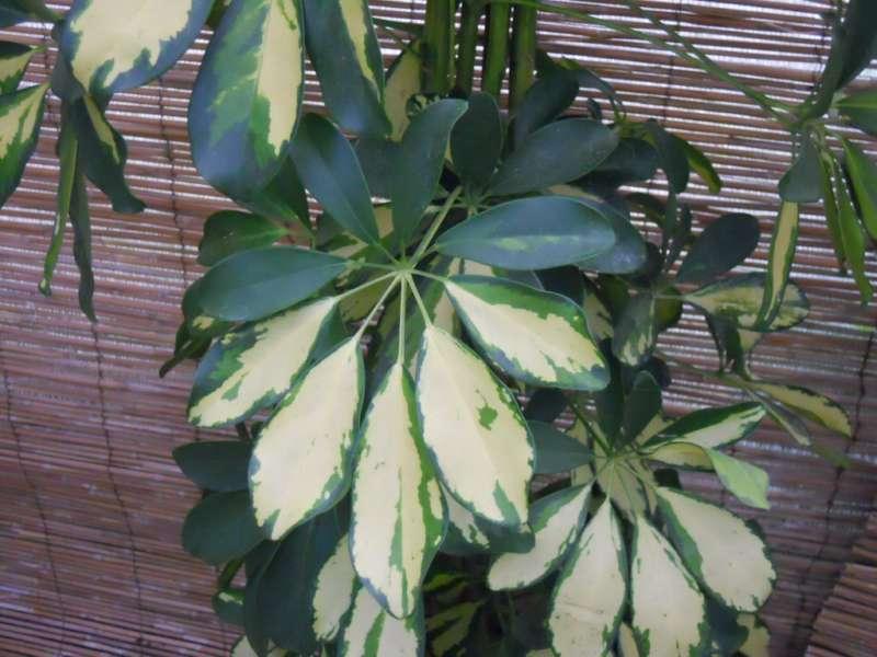 Schefflera arboricola 'Gold Capella' 2