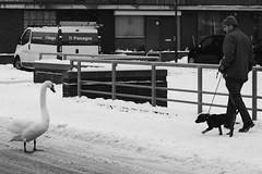 swan vs dog