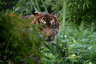 Sumatran Tiger | by FurLined