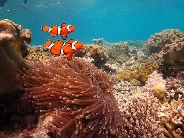 Detail of two clownfish (Australia 2010)