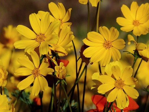 Coreopsis Colony | by Kahlee Spiritdancing