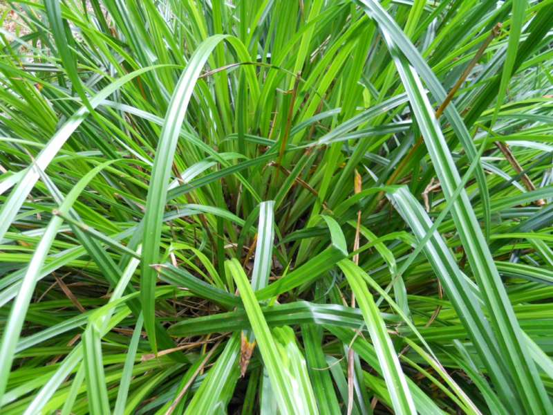Carex pendula 3