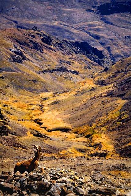 Capra Pyrenaica, Sierra Nevada, España