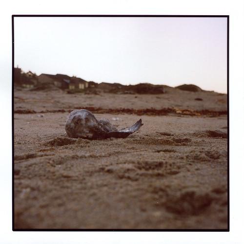 light bird tlr film beach animal rollei sunrise mediumformat dead sand decay seagull kelp 120mm rolleicord notroadkill rolleicordv montereydunes naturaldeath