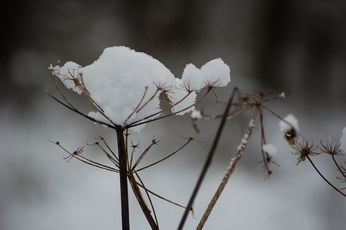 Snowy umbellifers series