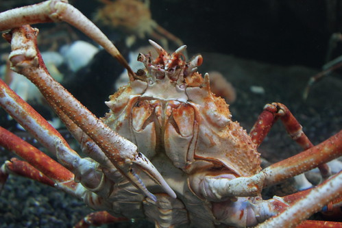 Japanese Spider Crab | by Wendell Reed