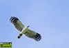 White-collared Kite - Leptodon forbesi by Ciro Albano - NE Brazil Birding