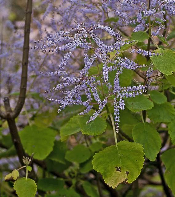 Tetradenia riparia (Hochst.) Codd - Ingwerbusch