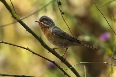 Subalpine Warbler - Monfrague - Spain_2669