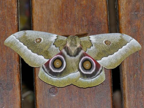 African Emperor Moth (Gonimbrasia zambesina) | by berniedup