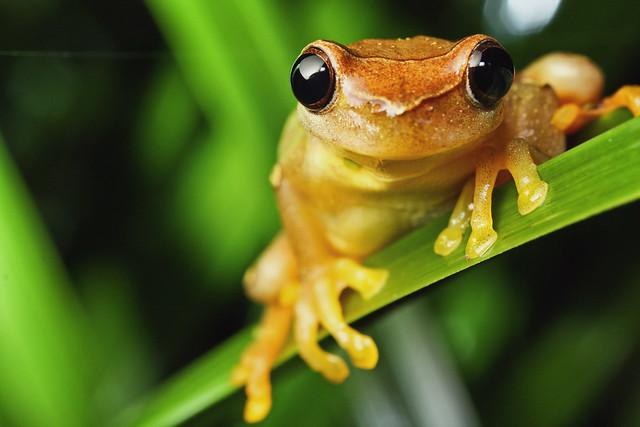 Dendropsophus species