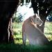 Lionesse - Lion Park South Africa