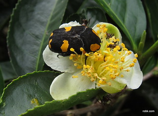 Yellow beetle on a tea plant (I think it's a Tea Weevil) | by RobK
